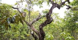 A foto mostra árvores com galhos retorcidos.